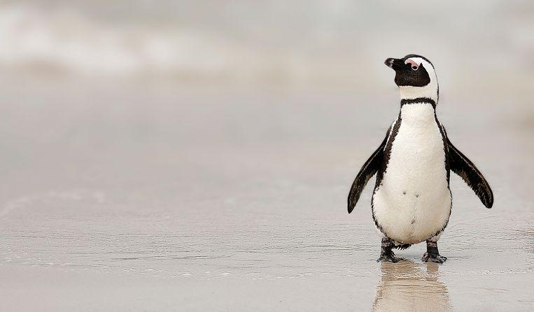 Waarschijnlijk legde de pinguïn het loodje omdat iemand chloortabletten in het water van het verblijf heeft gegooid.