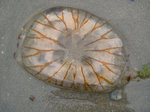 De kompaskwal, ook al gesignaleerd op de Belgische stranden.