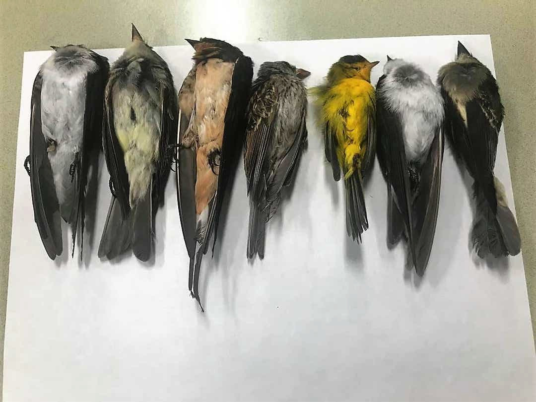Dode trekvogels op de onderzoekstafel in New Mexico. Vermoed wordt dat de omweg die ze moeten vliegen vanwege de natuurbranden in het westen van de Verenigde Staten ze fataal is geworden.