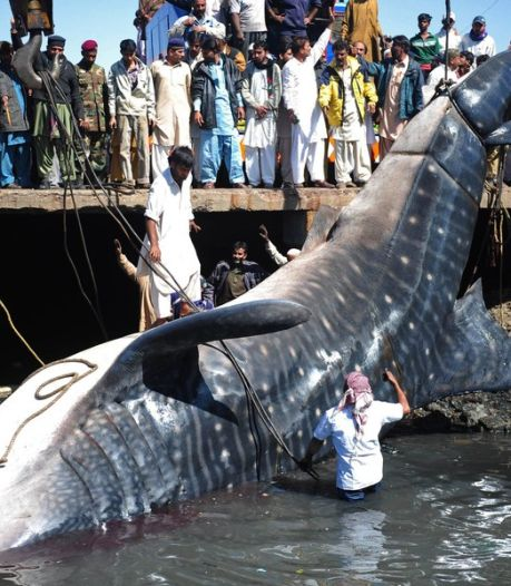 Un requin-baleine géant fait sensation au Pakistan (vidéo)