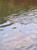 Frenk Bronts zag in mei van dit jaar al een bever in de Dommel in Vaartbroek.
