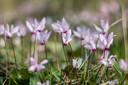 Uniek: Cyclamen hederifolium.