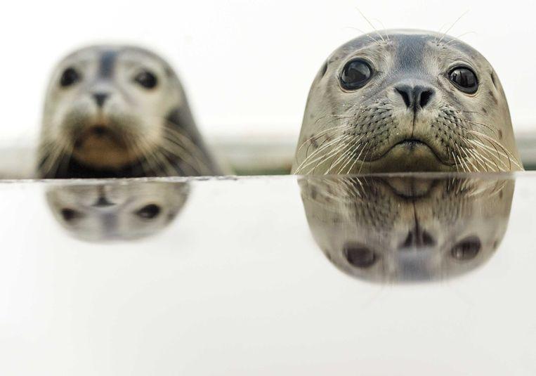 Zeehonden in het opvangcentrum A seal in Stellendam. Beeld ANP
