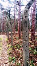 Palen uit Kamp Vught, kort na oorlog geplaatst rond particulier bos in Oisterwijk.