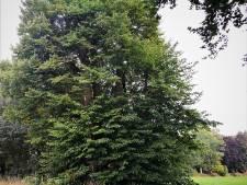 Historische Kozakkenlinde in Diepenveen onder handen genomen: 'In de tijd van Napoleon was de boom al de moeite waard'