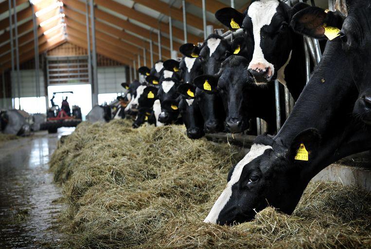 Koeien in een stal in Hellendoorn. Beeld Marcel van den Bergh / de Volkskrant