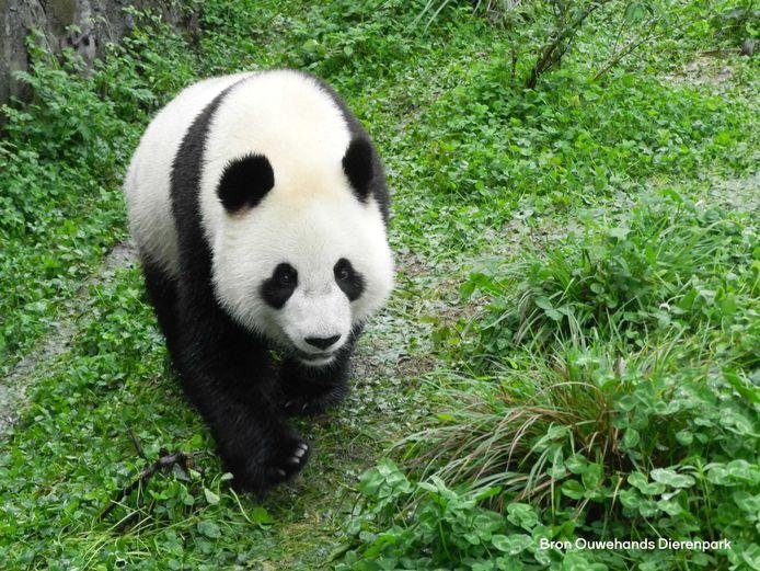 De panda Wu Wen