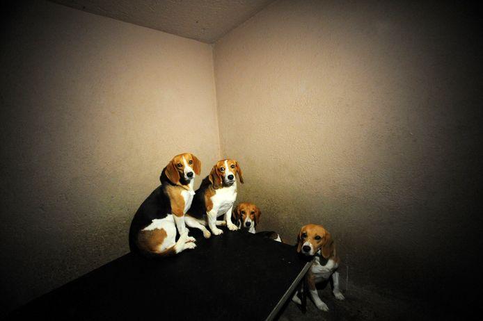 Beagle-honden die voor dierproeven worden gebruikt. Beeld gemaakt bij proefdierfokker Harlan (tegenwoordig Envigo) in Duitsland. Proefdiercentrum Charles River in Den Bosch wilde geen toegang geven aan de journalist van deze krant.