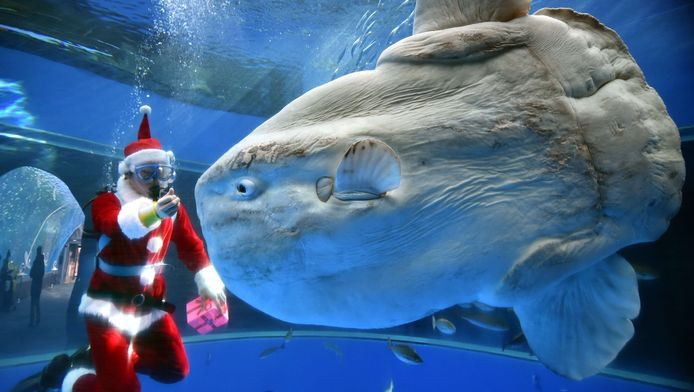 Een duiker in het Hakkeijima Sea Paradise-aquarium in Yokoham (Tokyo) voert een maanvis.