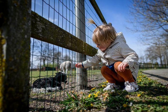 Rosan Schoneveld bij de lammetjes die zaterdag op de vroege morgen geboren zijn bij kinderboerderij 't Kukelnest.
