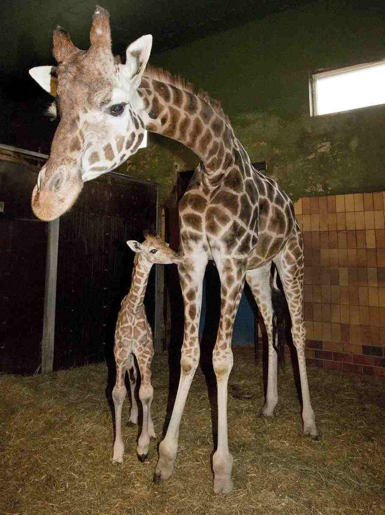 Giraffen in de Jyllands Park Zoo in Denemarken. Beeld REUTERS
