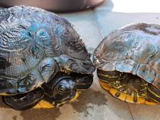 Rotterdammer boos over in beslag genomen  verwaarloosde waterschildpadden: 'Mijn dochter is getraumatiseerd'