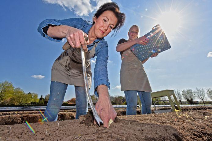 OUD-GASTEL - Alida Claassen en Liz Egbers halen de eerste asperges van de koude grond naar boven. Eigenlijk moeten de dames nog iets langer wachten, want het witte goud laat zich nog maar sporadisch zien.