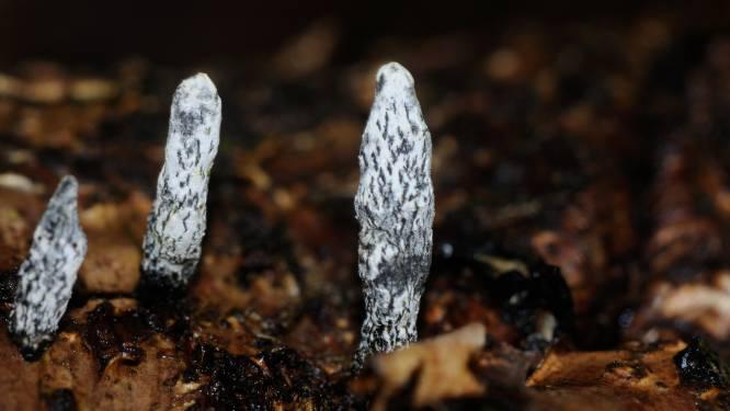 Exclusief in Lembeekse Bossen: paddenstoelsoort 'Xylaria cinerea' ontdekt
