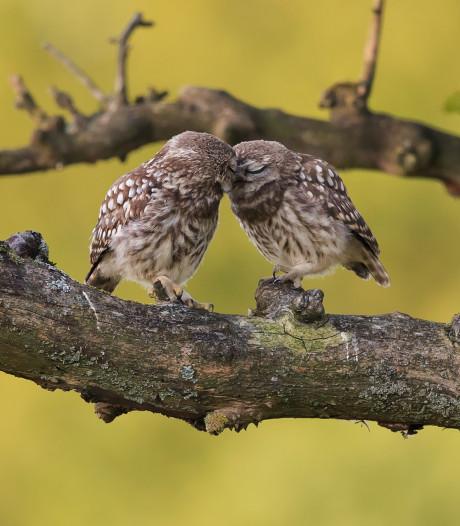 Lief natuurtafereel: fotograaf spot knuffelende steenuiltjes in Arkel