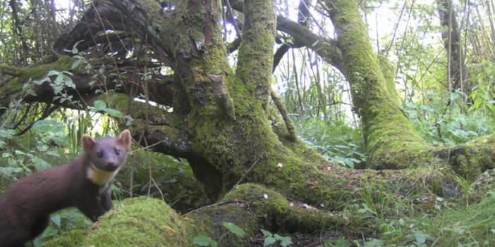 Wildcamera's hebben in de regio van de Antitankgracht al verschillende boommarters gespot