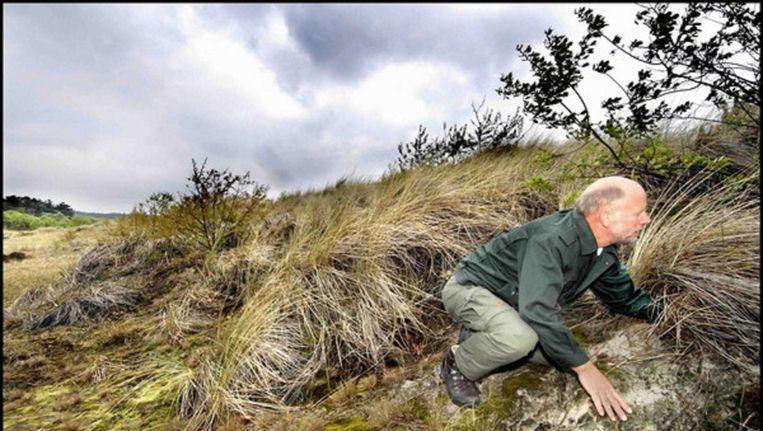 Boswachter in Schoorlse duinen. Beeld Raymond Rutting