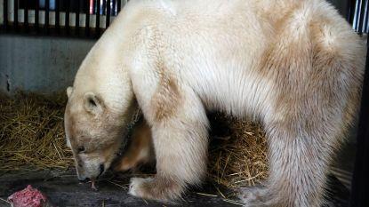 Uitgehongerde ijsbeer die in Siberische stad ronddoolde, aangekomen in dierentuin