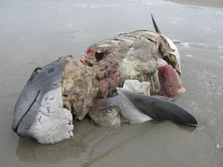 Een aangespoelde bruinvis, slachtoffer van een zeehondenaanval. Beeld @Johan Krol