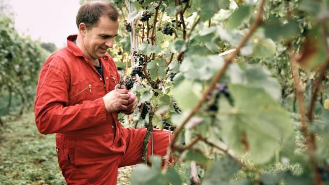 """Vlaamse wijnbouwers vrezen voor hun oogst na extreme regenval: """"Het moet écht beter weer worden, zodat de druiven kunnen rijpen"""""""