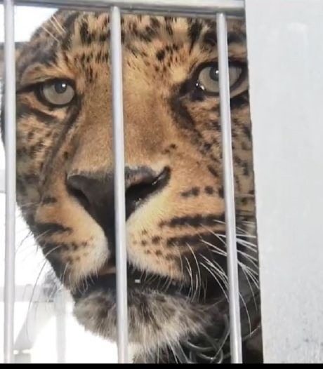 Fotoshoot eindigt in drama: luipaard bijt Duits model in hoofd, slachtoffer zwaargewond