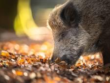Hongerwinter zielig voor de wilde zwijnen? Welnee, 'het helpt ons juist!'