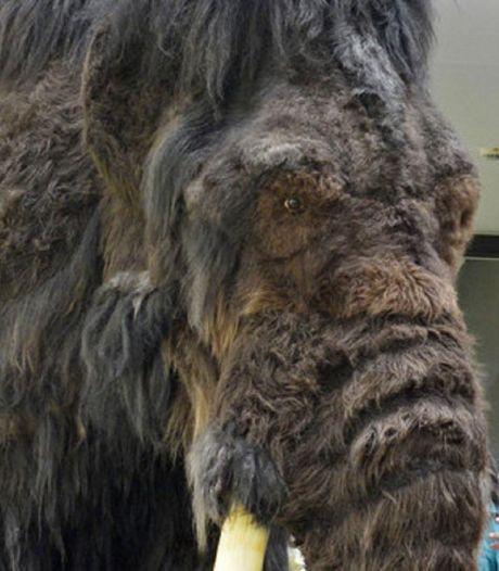 Complete slagtand (2,5 meter lang) van mammoet opgevist uit Waddenzee