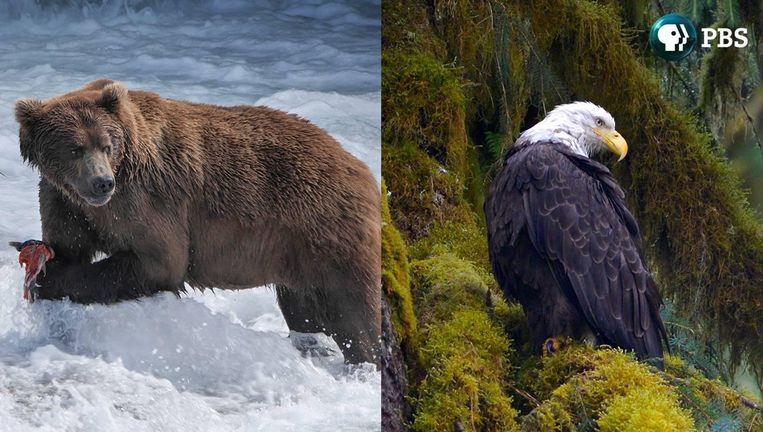 Wild Alaska Live Beeld PBS