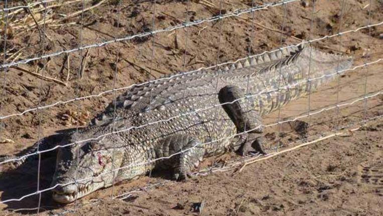 Deze krokodil was een voorbeeldige gevangene. Beeld UNKNOWN