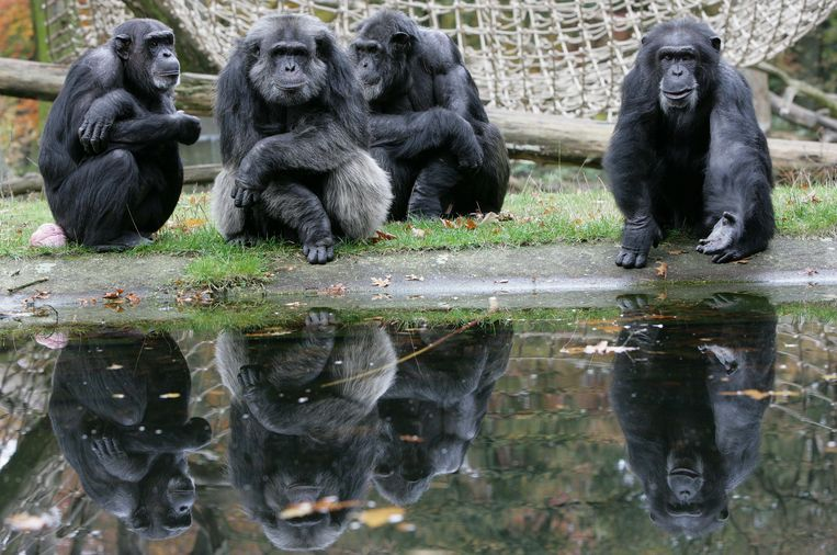 Een kwartet chimpansees uit de befaamde kolonie in de Arnhemse Burgers' Zoo. Beeld BELGAIMAGE