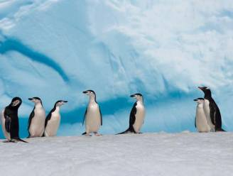 Aanpassing aan klimaatverandering valt pinguïns zwaar