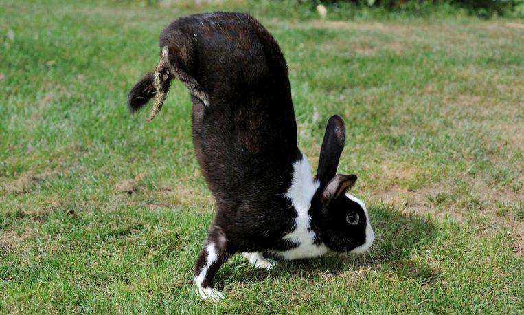 Niet elk konijn is een huppelaar. Beeld SWNS