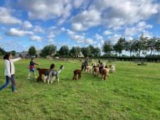 """REPORTAGE. Hakuna Alpaca wandelt op nieuwe locatie door té groot succes: """"Mensen reserveren al 3 maanden op voorhand"""""""