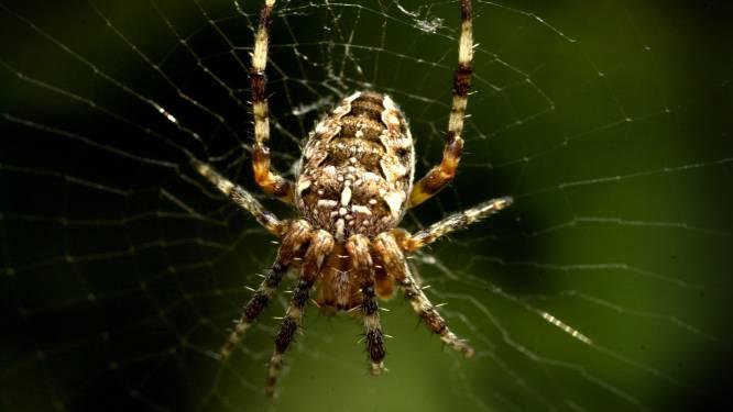 Wetenschappers van UGent roepen op om op zoek te gaan naar kruisspinnen