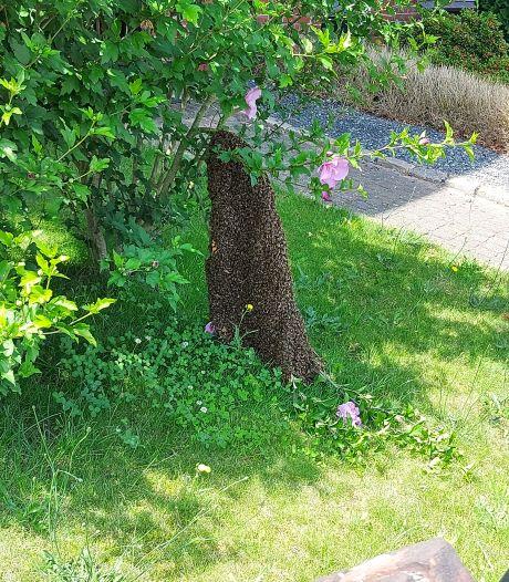 Ineens had Marlot uit Hengelo tienduizenden bijen te gast in haar voortuin: 'Ze zaten echt overal!'