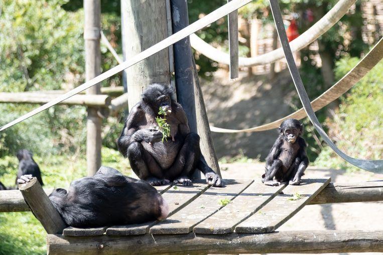 De bonobo's in Dierenpark Planckendael mogen weer buiten