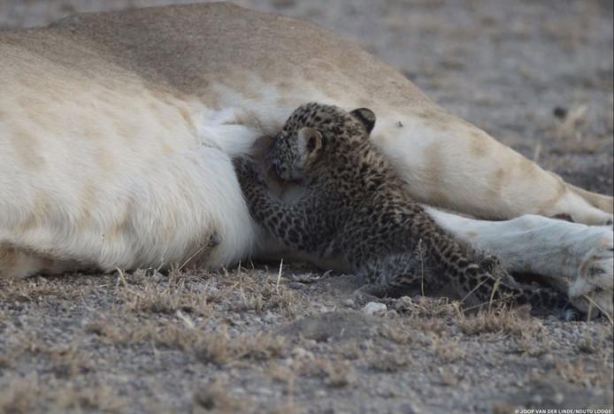 De kans dat het luipaardje door de rest van de groep wordt geaccepteerd is nihil.