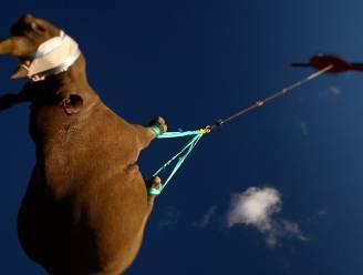 Neushoorns ondersteboven in de lucht en orgasmes tegen een verstopte neus: dit zijn de winnaars van de eigenzinnige Ig Nobelprijzen