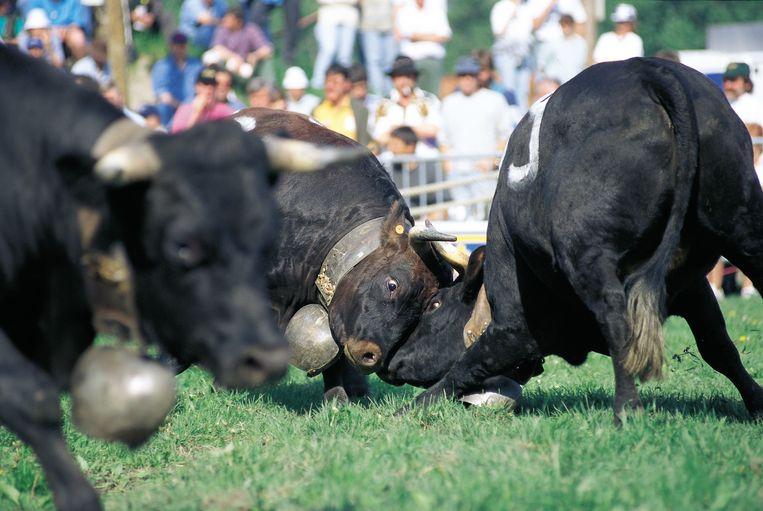 Koeien gaan met elkaar de strijd aan in een 'combat des reines'. Beeld Jonathan Vandevoorde
