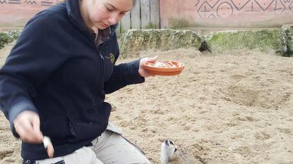 Lynn ontfermt zich over de dieren in Pairi Daiza