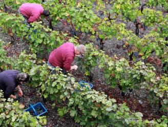 Wijnoogst in Bourgognestreek voor de helft verloren door vorst in de lente