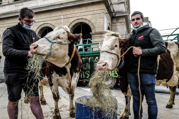 Vleesboeren voeren actie met hun koeien aan het stadhuis van Lyon, waar de minister om coronaredenen alle schoolmaaltijden vegetarisch wou maken. Beeld AFP
