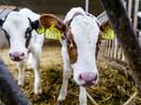 Net als mensen hebben koeien eiwitten nodig voor spieropbouw en de werking van het afweersysteem.