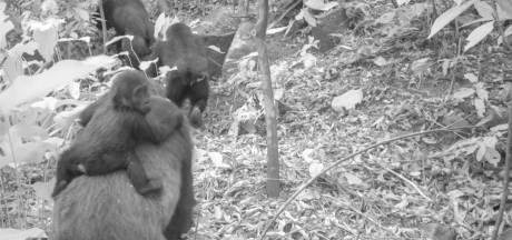 De jeunes gorilles en voie d'extinction photographiés au Nigeria