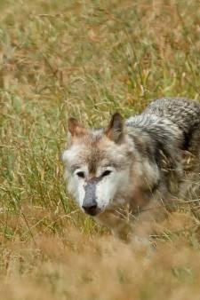 De wolf zal het grondgebied van de gemeente Arnhem niet betreden, zo werd besloten