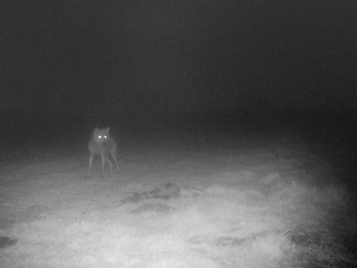 De nieuwe wolf in Vlaanderen op beeld vastgelegd bij een gedode ree