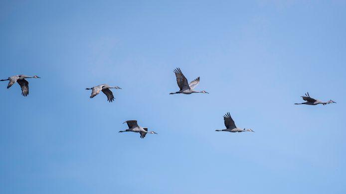Kraanvogel kraanvogels generic