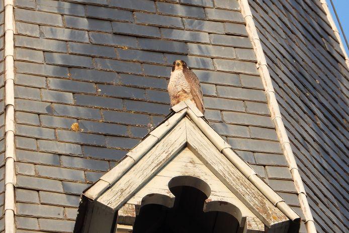 Aandachtige kijkers kunnen de slechtvalken geregeld zien vertrekken en aankomen in de kerktoren van de Sint-Martinuskerk op het dorp van Lede