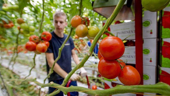 Tomaten bij Kwekerij Schenkeveld in De Lier