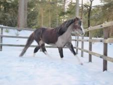 Grote zoektocht naar vermiste pony uit Vierhouten heeft succes: Snickers gevonden